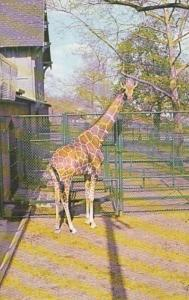 Pennsylvania Philadelphia Zoological Garden Reticulatd Giraffe