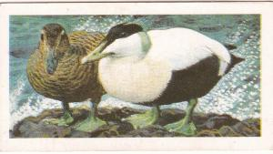 Trade Card Brooke Bond Tea Wild Birds in Britain 38 Eider