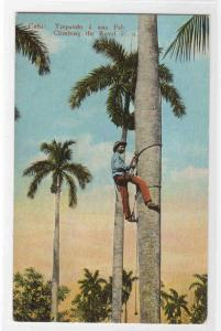 Climbing the Royal Palm Cuba 1910c postcard