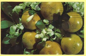 FLORIDA GRAPEFRUIT WITH BLOSSOMS  SEE SCAN  PC149