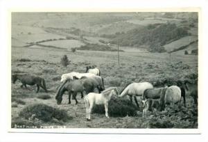 RP; Dartmoor ponies, UK, 20-40s