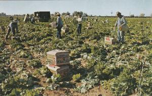 Lettuce Harvest Near Mesa,  Arizona,   PU_1957