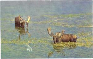 Bull Moose, Yellowstone National Park, Wyoming, WY, Chrome
