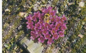 Canada Purple Saxifrage With Bumblebee Cape Bathurst Northwest Territories