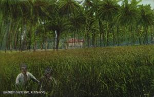 malay malaysia, PENANG, Paddy Cutting (1910s) Postcard