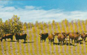 Canada Dual Purpose Herd Of Red Poll Cattle Crystal City Manitoba