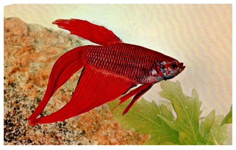 Blood Red Siamese Fighting Fish