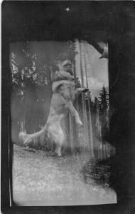 F30/ Rosyln Washington RPPC Postcard 1915 Dog Jumping for Food