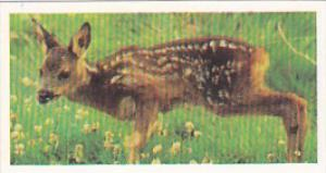 Brooke Bond Vintage Trade Card Woodland Wildlife 1980 No 27 Roe Deer