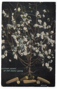 Cotton Plant Of The Sunny South