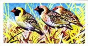 Brooke Bond Trade Card Tropical Birds No 12 Red-Billed Quelea