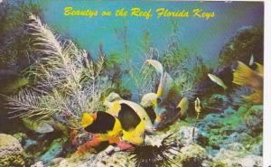 Florida Rock Beauty and Queen Angel Fish On Living Reef In The Florida Keys