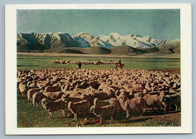 1957 Kyrgyz Kyrgyzstan Sheeps in mountains of Tien Shan Russian Soviet Postcard