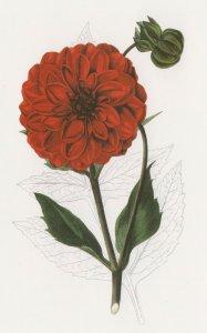 Dahlia Morning Star Flower Victorian Florist Guide Book Painting Postcard