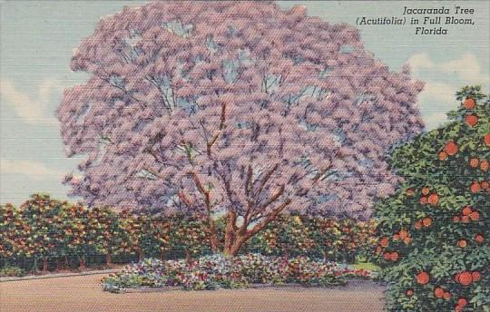 Jacaranda Tree In Full Bloom Florida Curteiclh