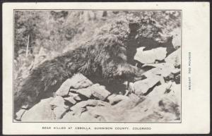Bear Killed at Cebolla,CO Postcard