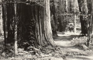 RP: By-Road in REDWOOD Forest , California , 1950 ; Patterson