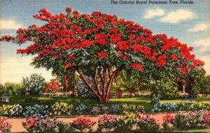 Florida Colorful Royal Poinciana Tree In Full Bloom Curteich