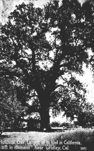 California Gridley Hutchins Oak Largest Of Its Kind In California 11 Feet In ...