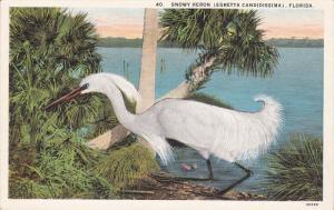 FLORIDA, 1900-1910's; Snowy Heron, Egretta Candidissima