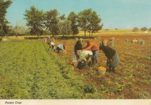 Cyprus potato crop postcard