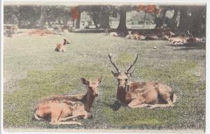 Japan; Deer At Nara Park PPC, Unposted c 1910's