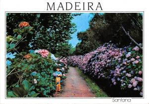 Portugal Madeira Santana Hortensias nas Queimas, Hortensien, Hydrangeas