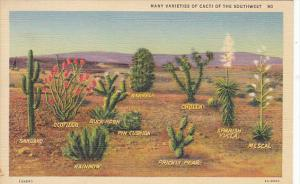 Many Varieties Of Cacti Of The Southwest 1941 Curteich