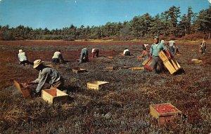 Cranberries, Cranberry Post Card Cranberry Picking Time Cape Cod, Massachuset...