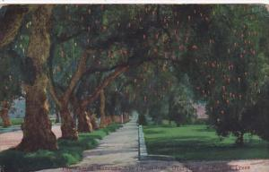 California Pasadena Famous Marengo Avenue Overhung By Pepper Trees 1923