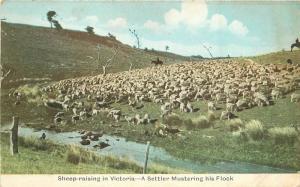 Australia C-1910 Postcard Sheep Raising Victoria Settler Flock 11272