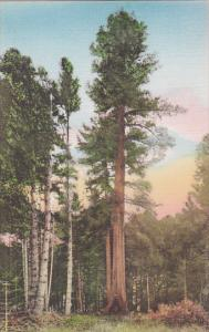 Coolidge Tree Coolidge Grove On The Redwood Highway California Handcolored Al...