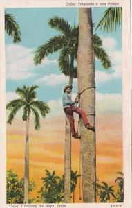 Cuba Native Climbing The Royal Palm