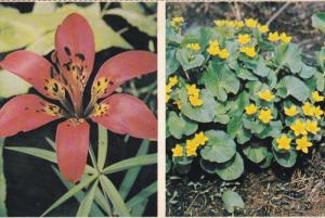 Wood or Red Lily, Marsh-Marigorld or Cowslip Wildflowers of CANADA, 40-60's