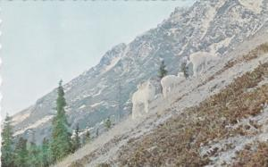 Sheep Mountain , Mile 1060 , Alaska Hiway , YUKON , Canada , 40-60s
