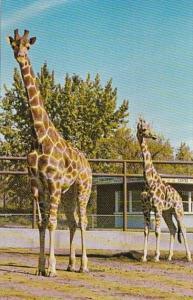 Canada Calgary Giraffes Katie & Charlie The Calgary Zoo