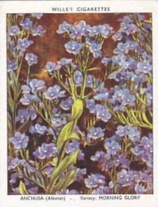 Wills Vintage Cigarette Card Garden Flowers 1939 2nd Series No 4 Anchusa Morn...