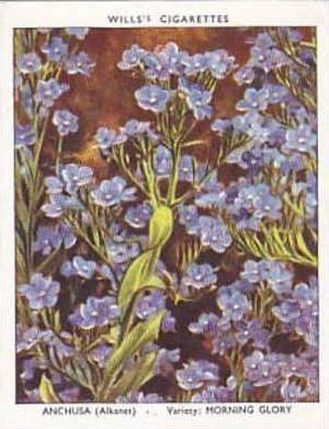 Wills Vintage Cigarette Card Garden Flowers 1939 2nd Series No 4 Anchusa Morn...