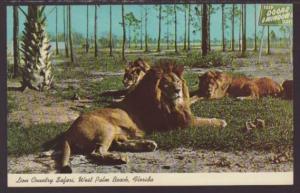 Lions,Lion Country Safari,West Palm Beach,FL Postcard