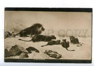 168792 HUNT Lioness LION in Desert Vintage Russian PC