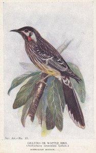 AUSTRALIA, PU-1944; Gillbird Or Wattle Bird, Australian Museum