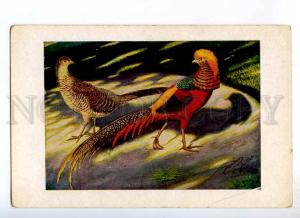 234884 GOLDFASAN Rooster Hen breed by ZANDER old