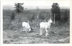 RPPC Wild Mountain Sheep,  Kodak Paper real photo
