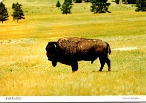 Bull Buffalo American Bison