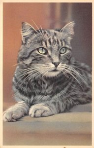 Cat Post Card, Cats Postcards Striped Cat Unused