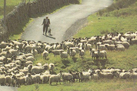 Yorkshire Farmer Struggling To Control His Sheep Postcard