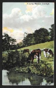 Cows in a Meadow Cranleigh Surrey England unused c1910s
