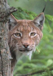 Peeping Lynx Cats Peeps Tree Katze Luchs Ecke Giant Cat German Postcard