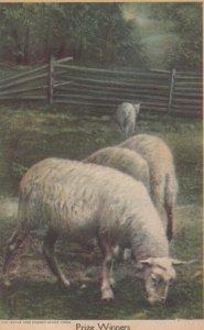 Sheep , Prize Winners , 1910