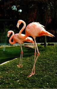 Birds Flamingos At Parrot Jungle Miami Florida 1972